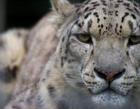 Margay | Welsh Mountain Zoo
